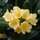 クンシラン:黄花君子蘭 光玲(みれい)6号鉢植え