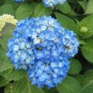花木 庭木の苗/アジサイ:安行四季咲き(アンギョウシキザキ)3号ポット