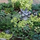 草花の苗/多肉植物・セダムミックス2.5号ロングポット 3ポットセット