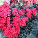 花木 庭木の苗/サルスベリ(百日紅):ブラ...