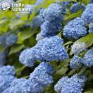 花木 庭木の苗/アジサイ(ハイドランジア):エンドレスサマーザオリジナル3.5号ポット