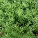 観葉植物/セダム:モリムラマンネングサ2株セット