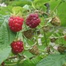 果樹の苗/木いちご(キイチゴ):ラズベリー インディアンサマー4〜5号ポット
