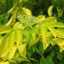 花木 庭木の苗/西洋ニワトコ(エルダーフラワー):黄葉4号ポット