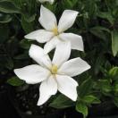 花木 庭木の苗/クチナシ:一重(実成り)クチナシ5号ポット