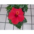 ハイビスカス タワー仕立て 5号鉢 苗木 赤花 サマーレッド 鉢花