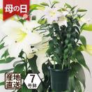 母の日ギフト 鉢植え ギフト カサブランカ 鉢花 3本立 7号鉢 花贈る プレゼント 送料無料