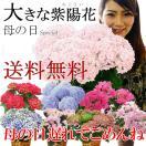 アジサイの花が好きな友人にプレゼント。希少なものや変わり種のいろんな紫陽花をご紹介ください。