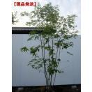 現品発送 アオダモ  樹高2.0-2.6m(根鉢含まず)