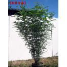 シマトネリコ 樹高約1.5m以上(根鉢含まず) 株立