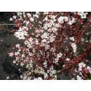 【送料無料】二本セット 特大ピンクユキヤナギ 樹高0.8m(根鉢含まず)
