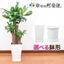 観葉植物 幸福の木(ドラセナ) 7号角プラスチック鉢 高さ約1m