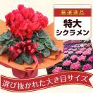 シクラメン 鉢植え 6号鉢
