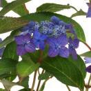 藍姫・山紫陽花ヤマアジサイ