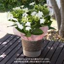 母の日 ギフト 花鉢 アジサイ 「フェアリーアイ」 日比谷花壇