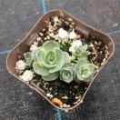 多肉植物 子持ち蓮華錦 7.5cmポット苗
