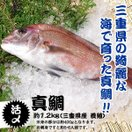 活〆 真鯛 1枚 約1.2kg(三重県産 ...