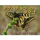 アゲハチョウのタマゴ  アゲハ蝶のタマゴ  ...