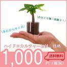 【送料無料】お試し価格! サークル55 1鉢 ハイドロコーン植え 炭植え 観葉植物/ハイドロカルチャー/水耕栽培/インテリアグリーン