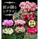 12月初旬から出荷 シクラメン 天使のベルも選べる匠のシクラメン5号鉢植えギフト!送料無料