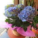 アジサイ「マリンブルー」5号鉢サイズ 鉢植え 花 フラワー 鉢花 プレゼント ギフト 贈り物 紫陽花 あじさい ハイドランジア 青い 水色 青色 母の日特集 2017年