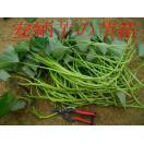 平成29年度 春用予約受付中 ◆さつまいも苗◆ 安納芋(あんのういも) サツマイモ苗 10本 切り芋苗