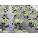 今からが最適な植え時期 好評販売中 ◆さつまいも苗◆ 甘いシルクスイート(しるくすいーと) サツマイモ苗 10本 切り芋苗