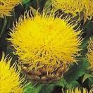 種 花たね 矢車草 黄金矢車草 1袋(300mg)