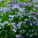 種 花たね ネメシア ブルー 1袋(50mg) / ...