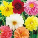 花たね ダリア セミダブル混合 1袋(40粒)