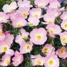 種 花たね 昼咲月見草 1袋(150mg)