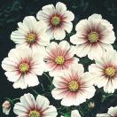 花たね コスモス デイドリーム 1袋(50粒)