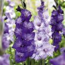 春植え球根 グラジオラス紫セット 2色80球