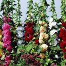 花たね 多年草 タチアオイ八重咲混合 1袋(50粒)