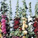 花たね タチアオイ 八重混合 1袋(300mg)