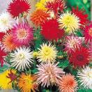 春植え球根 切り花向きカクタス咲ダリアセット 4色8球