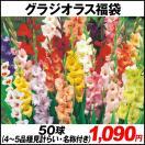 春植え球根 グラジオラス福袋 60球 (5〜6品...