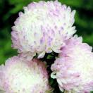 花たね アスター 牡丹咲きアスター ローズ&ホワイト 1袋(80粒)