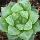 多肉植物 ハオルチア 雪の華 1ポット