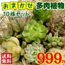 多肉植物 ミニ多肉植物おまかせ 10株セット...