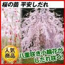 桜 苗木 平安しだれ 1株 / しだれ桜 枝垂桜...