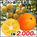 果樹苗 カンキツ ぷちまるP 1株