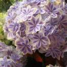 アジサイ 万華鏡 あじさい 母の日 花 花鉢 鉢植え アジサイ ブルー系 プロにお任せ♪超おススメのブルー系あじさい