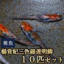 メダカ / 楊貴妃三色錦透明鱗めだか 稚魚 SS-Sサイズ 10匹セット / 三色透明鱗メダカ 限定大特価