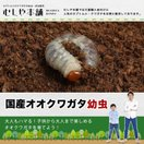 国産 オオクワガタ幼虫 1〜2令【1頭】
