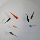 メダカ 長州夢めだか おまかせ20匹セット 成魚 Mサイズ