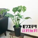 モンステラ 送料無料の大特価 観葉植物 受け皿付き お買い得 ヒメモンステラ