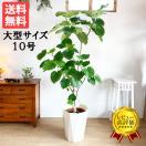 送料無料 フィカス ウンベラータ ゴムの木 大サイズ 大鉢 10号鉢 観葉植物 大型