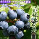 【選べる品種】ブルーベリー 『ラビットアイ系』 (2年生) 3.5号ポット苗