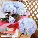 【母の日のプレゼント】 八重咲きアジサイ『万華鏡』 ブルー 5号鉢カゴ入り